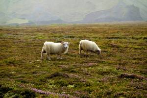Sheep roam freely in search of the best meal.